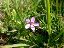 Purpurrote Blumen mit Hintergrund des grünen Grases Lizenzfreie Stockbilder