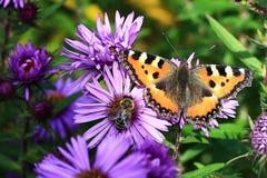 Purpurrote Blumen mit Schmetterling, Herbstlandschaft in den Sumava-Bergen, Stodulky, Tschechische Republik Lizenzfreies Stockfoto