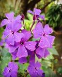 Purpurrote Blumen mit Tröpfchen des Wassers lizenzfreies stockbild