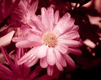 Purpurrote Blumen mit Tropfen Stockfoto