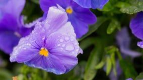 Purpurrote Blumen mit Tropfen des Taus Stockfoto