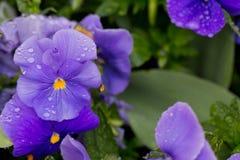 Purpurrote Blumen mit Tropfen des Taus Stockfotos