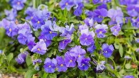 Purpurrote Blumen mit Tropfen des Taus Lizenzfreies Stockbild