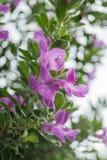 Purpurrote Blumen mit Wassertropfen Stockfotos