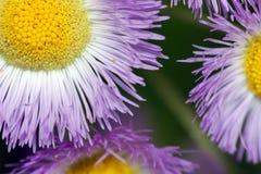 Purpurrote Blumen schließen Stockfoto