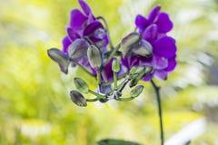 Purpurrote Blumen sind Blumen, Erbsenblumen, medizinisch und medizinisch Lizenzfreies Stockfoto