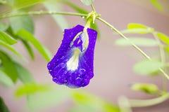 Purpurrote Blumen sind Blumen, Erbsenblumen, medizinisch und medizinisch Stockfoto