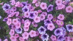 Purpurrote Blumen-Tapete lizenzfreie stockfotografie