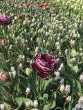 Purpurrote Blumen Tulpen und Muscari stockbilder