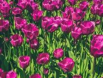 Purpurrote Blumen - Tulpenblumenfeld stockbild