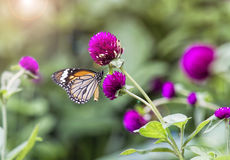 purpurrote Blumen u. x28; Kugel amaranth& x29; lizenzfreie stockbilder