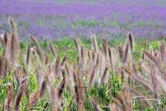 Purpurrote Blumen und bitteres fleabane Gras Stockbild