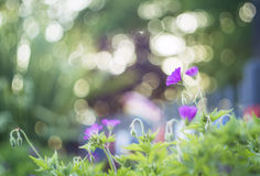 Purpurrote Blumen und bokeh Lizenzfreies Stockbild