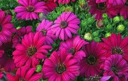 Purpurrote Blumen und Gänseblümchen vom Floristen Stockbilder