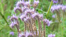 Purpurrote Blumen von phacelia stock video footage