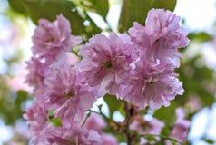 Purpurrote Blumen von sacura Nahaufnahme Lizenzfreies Stockfoto