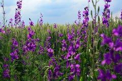 Purpurrote Blumen vor Weizen Stockbild
