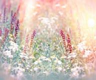 Purpurrote Blumen zwischen Gänseblümchenblumen Lizenzfreie Stockfotos