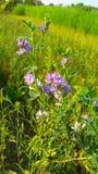 Purpurrote Blumenanlage lizenzfreies stockfoto