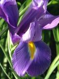 Purpurrote Blumenanlage der niederländischen Iris Stockfotos