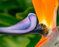 Purpurrote Blumenbiene Stockfotografie