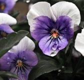 Purpurrote Blumenblätter Stockbild