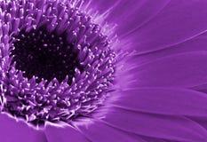 Purpurrote Blumenblätter Lizenzfreies Stockbild