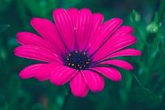 Purpurrote Blumenblätter Lizenzfreie Stockfotografie
