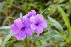 Purpurrote Blumenblüte morgens Stockbilder