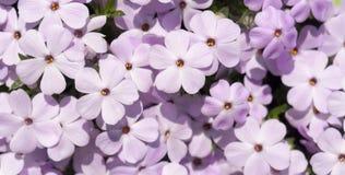 Purpurrote Blumenfahne Lizenzfreie Stockfotografie