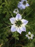 Purpurrote Blumenfreude Stockfoto