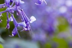 Purpurrote Blumennahaufnahme mit Tautropfen und selektivem Fokus lizenzfreies stockbild