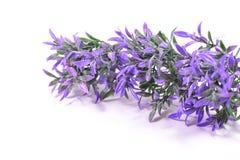 Purpurrote Blumenniederlassung Stockfoto