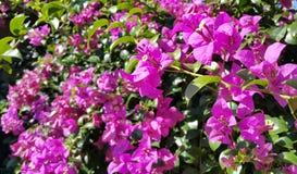 Purpurrote Bouganvilla-Blumen Stockbilder