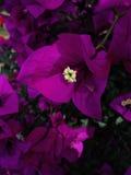 Purpurrote Bouganvilla-Blumen Lizenzfreies Stockbild