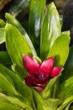 Purpurrote Bromelie in der Blüte Stockbilder