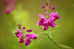 Purpurrote Buschblume lokalisiert Lizenzfreies Stockfoto