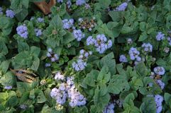 Purpurrote Chrysantheme Lizenzfreie Stockfotografie