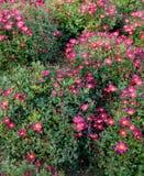 Purpurrote Chrysantheme Lizenzfreies Stockfoto