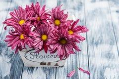 Purpurrote Chrysantheme im hölzernen Topf stockfotos