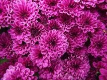 Purpurrote Chrysanthemen-natürlicher Hintergrund lizenzfreies stockfoto