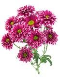 Purpurrote Chrysanthemenblumennahaufnahme Lizenzfreie Stockfotos