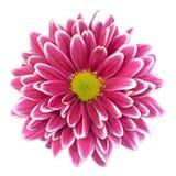 Purpurrote Chrysanthemenblumennahaufnahme Stockbild