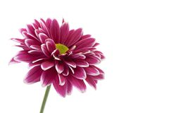 Purpurrote Chrysanthemenblumennahaufnahme Stockfotografie