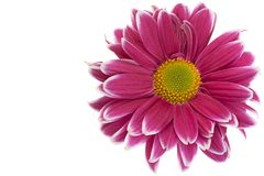 Purpurrote Chrysanthemenblumennahaufnahme Stockbilder