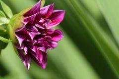 Purpurrote Dahlie auf dem natürlichen grünen Hintergrund Lizenzfreies Stockfoto