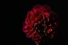 Purpurrote Dahlienblume auf schwarzem Hintergrund Stockfotografie