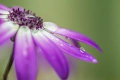 Purpurrote Daisy Flower Close Up Stockfoto