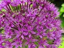 Purpurrote dekorative Zwiebel der Nahaufnahme Lizenzfreie Stockfotografie