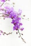 Purpurrote Dendrobiumorchidee mit weichem Licht Lizenzfreie Stockfotos